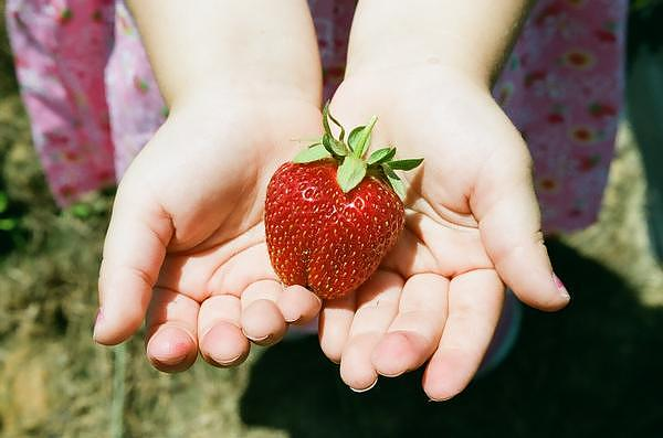 Strawberry Photograph - Strawberry Pickin by Heather Shell Martin