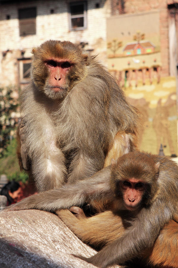 Animals Photograph - Kathmandu Street Monkeys  by Aidan Moran