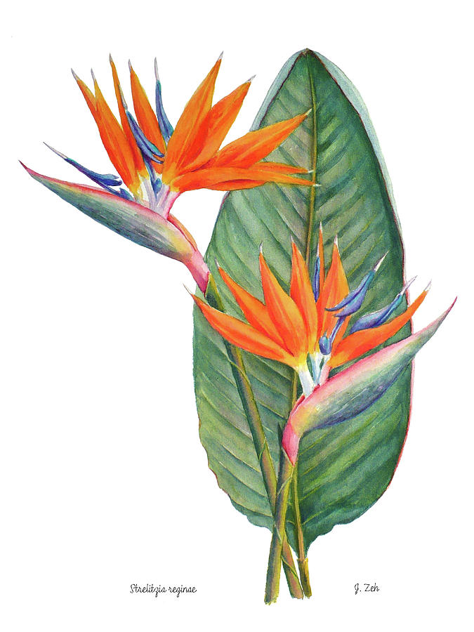 Strelitzia reginae Bird of Paradise by Janet Zeh