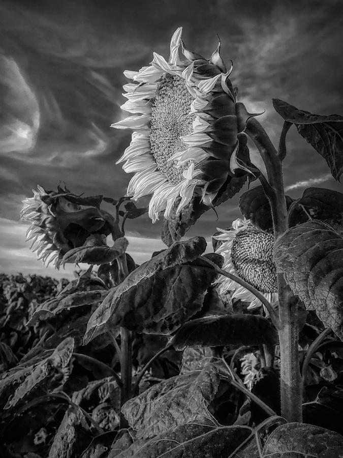Strength of a Sunflower by Wes Jimerson