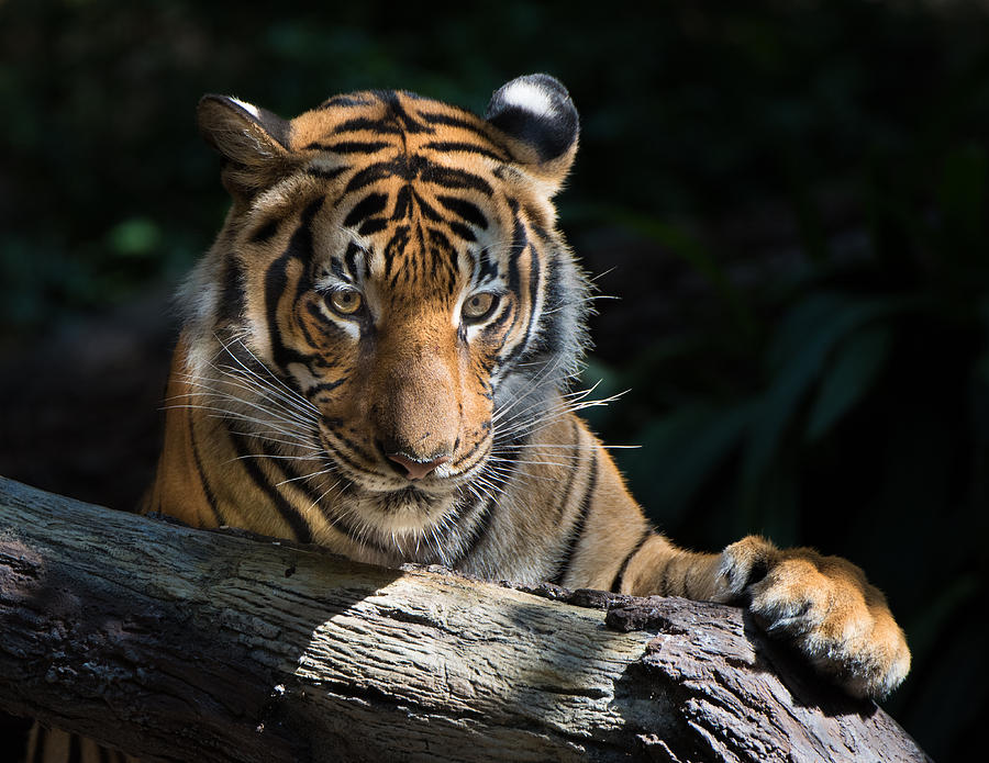 Male Tiger Photograph - Strength Through Darkness by William Sawtell