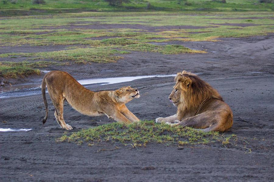 Stretching Lioness by Brenda Smith DVM