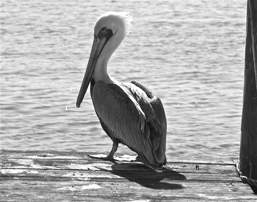 Pelican Photograph - Strike A Pose by Bonnes Eyes Fine Art Photography
