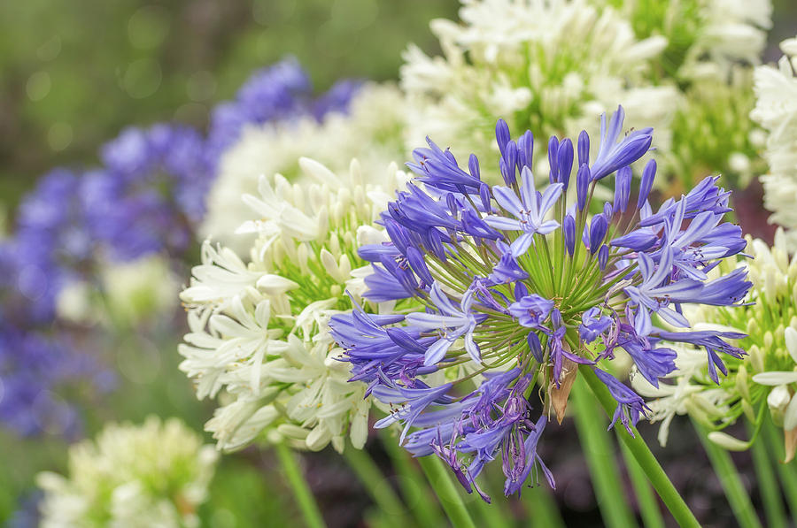 Agapanthus Photograph - Striking Blue And White Agapanthus Flowers by Daniela Constantinescu