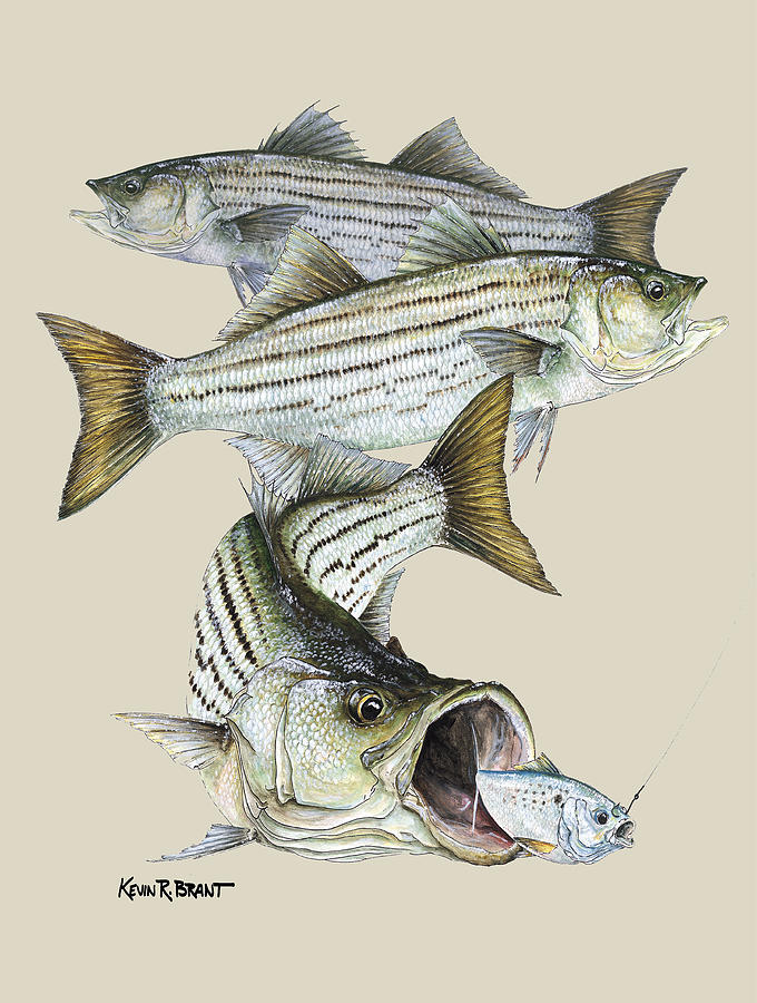 Bass Painting - Striped Bass by Kevin Brant