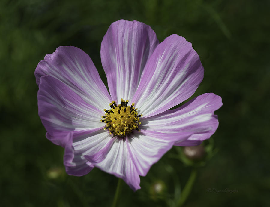 Color Prints Photograph - Striped Cosmos 1 by Roger Snyder
