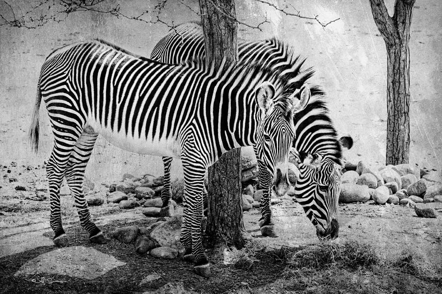 Zebra Photograph - Stripped Pair by Jeff Swanson
