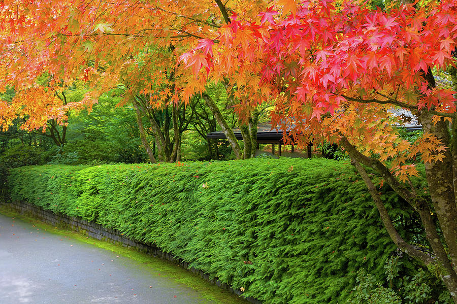 Japanese Photograph - Strolling Path Lined With Japanese Maple Trees In Fall by David Gn