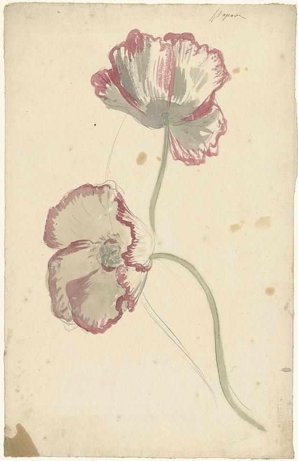 Studies Of Two Poppies, Elias Van Nijmegen, Ca. 1700 - Ca. 1725 Painting