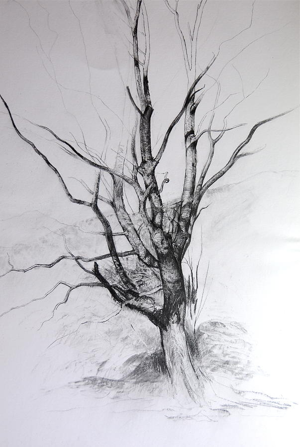 Landscape Drawing - Study Of A Tree by Harry Robertson