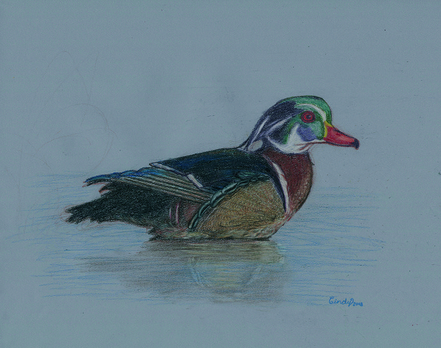 Wood Duck Drawing - Study Of A Wood Duck by Cynthia  Lanka