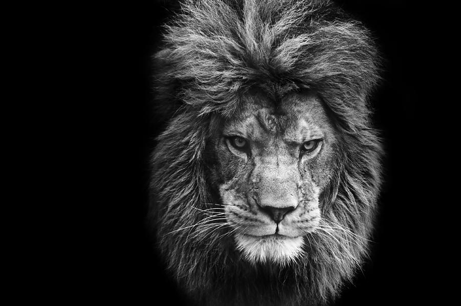 Lion photograph stunning black and white portrait of barbary lion on black background by matthew