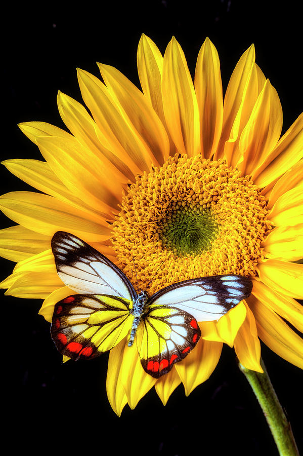 Stunning Butterfly On Sunflower Photograph By Garry Gay