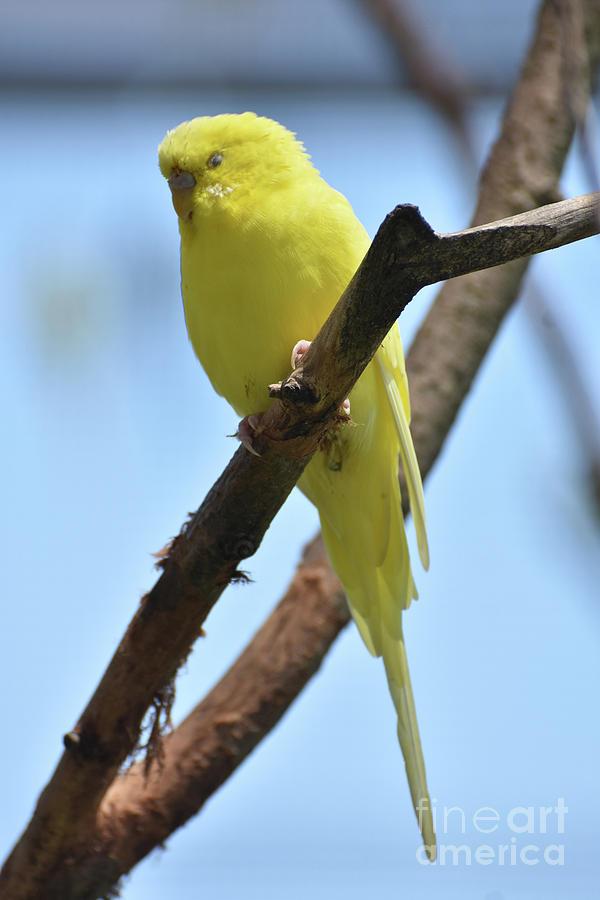 Budgie Photograph - Stunning Little Yellow Budgie Parakeet In Nature by DejaVu Designs