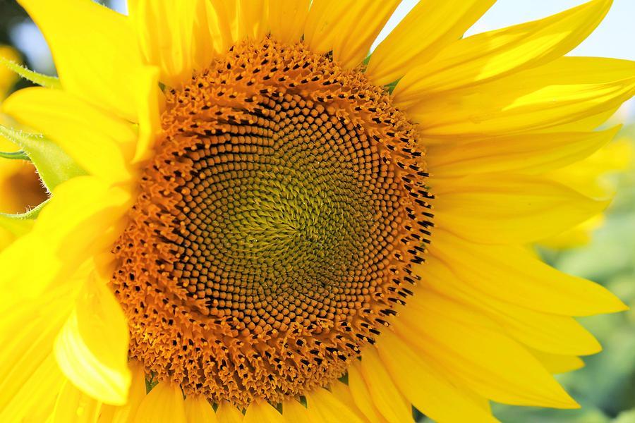 Stunning Sunflower Photograph