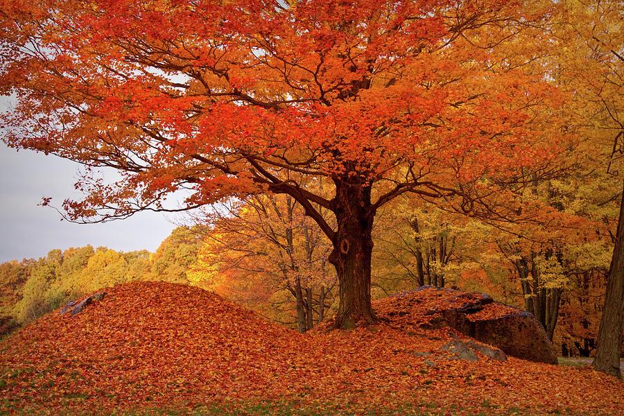 Salem Massachusetts Photograph - Sturdy Maple In Autumn Orange by Jeff Folger