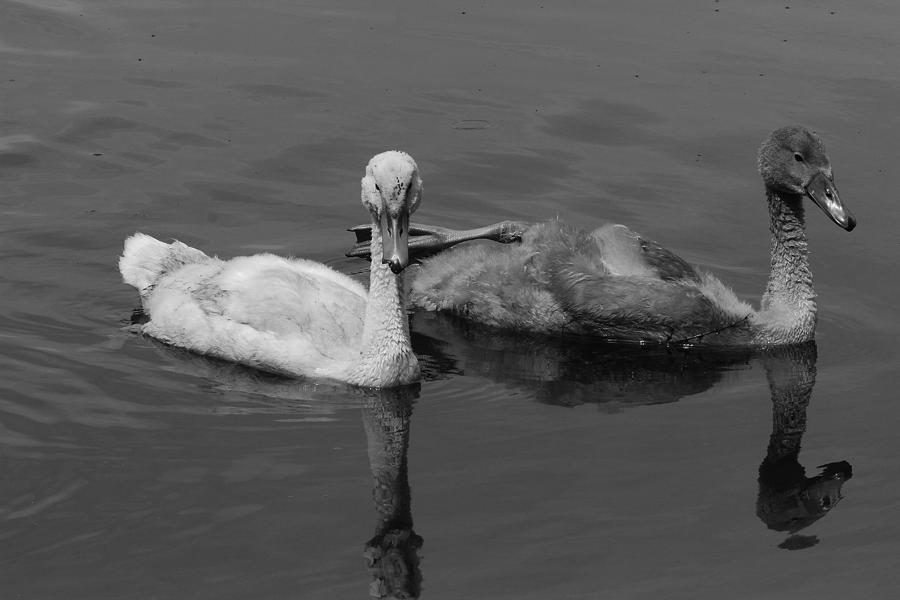 Swan Photograph - Stylish Swim by Jake Danishevsky