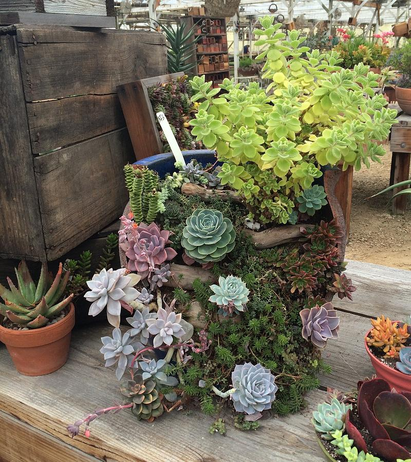 Succulent Gardens Photograph By Darlene D Amico Sorci