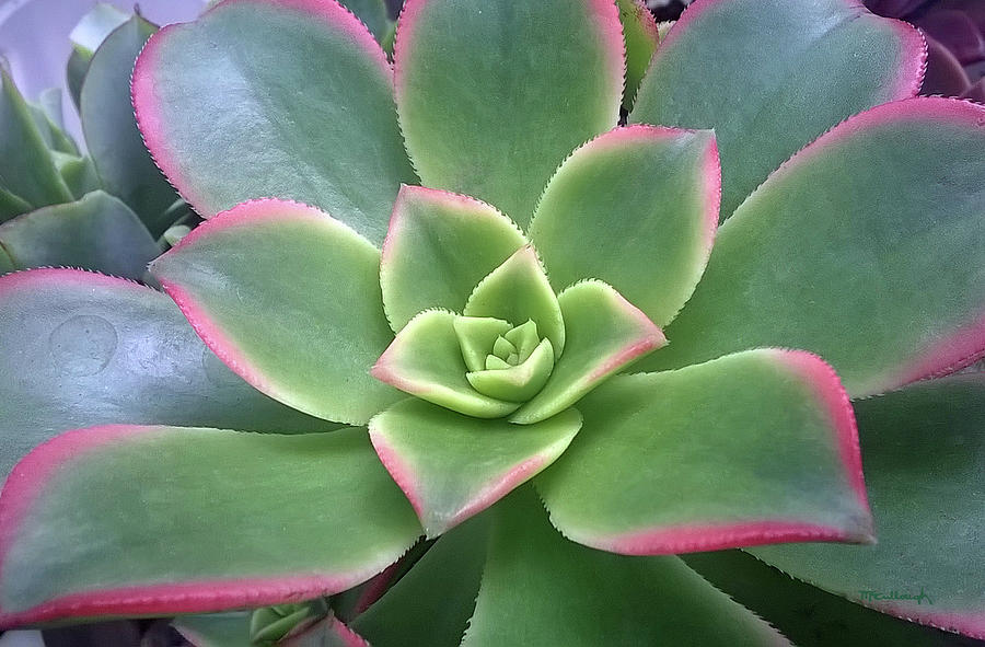 Succulent Leaves 6 by Duane McCullough
