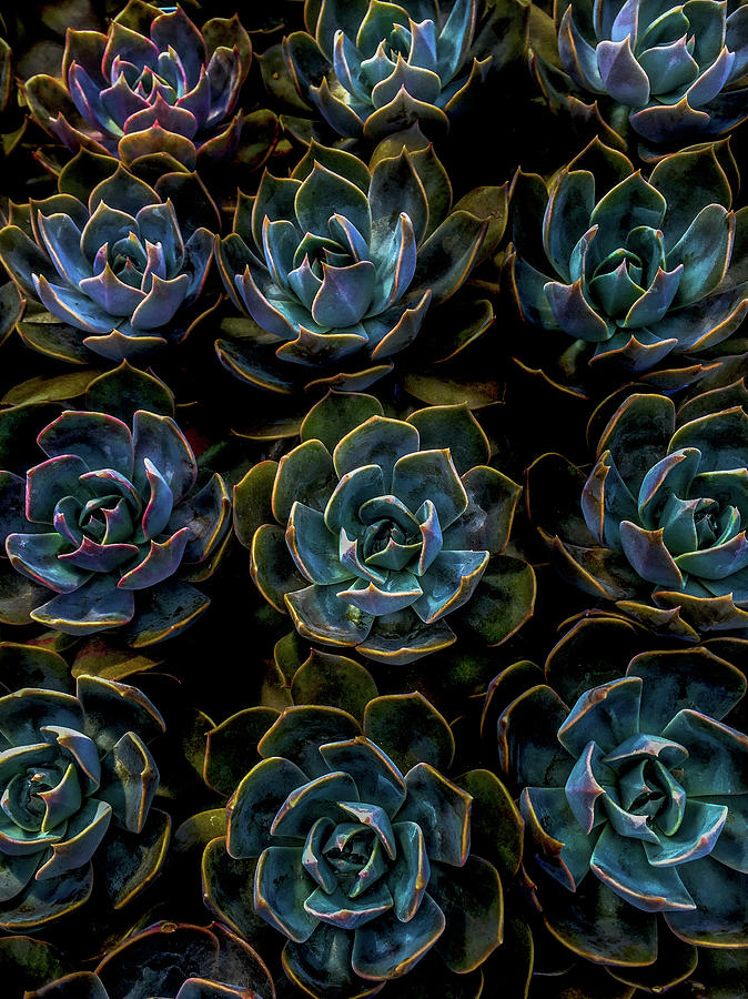 Plants Photograph - Succulent by Rod Sterling