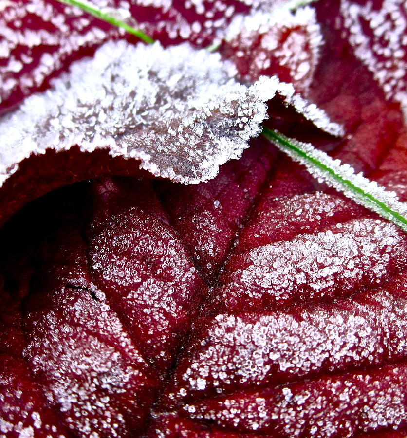 Leaf Photograph - Sugar Coated Morning by Gwyn Newcombe
