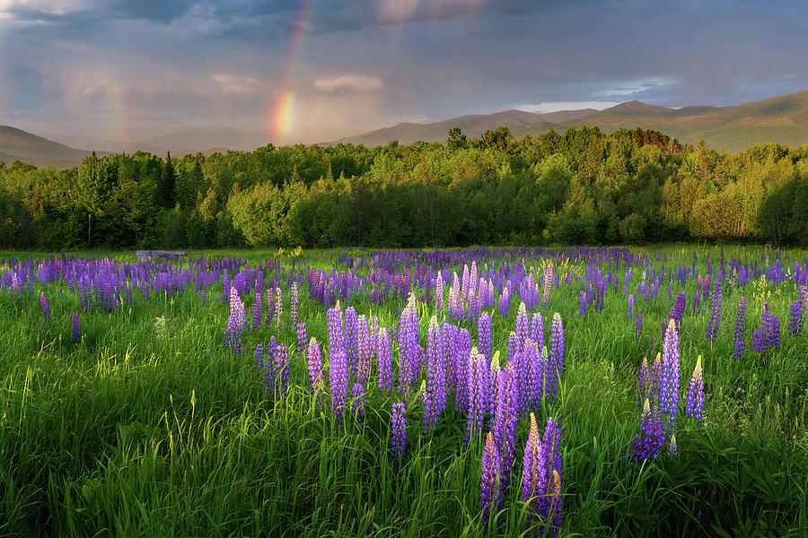 Sugar Hill Photograph - Sugar Hill Lupines by Bill Wakeley