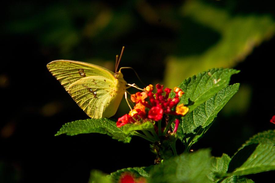 Arkansas Photograph - Sulpher Butterfly On Lantana by Douglas Barnett