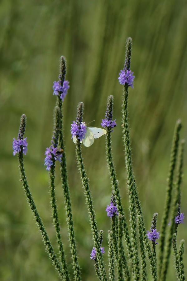 Wildflowers Photograph - Sulphur Butterfly - Blue Vervain by Nikolyn McDonald