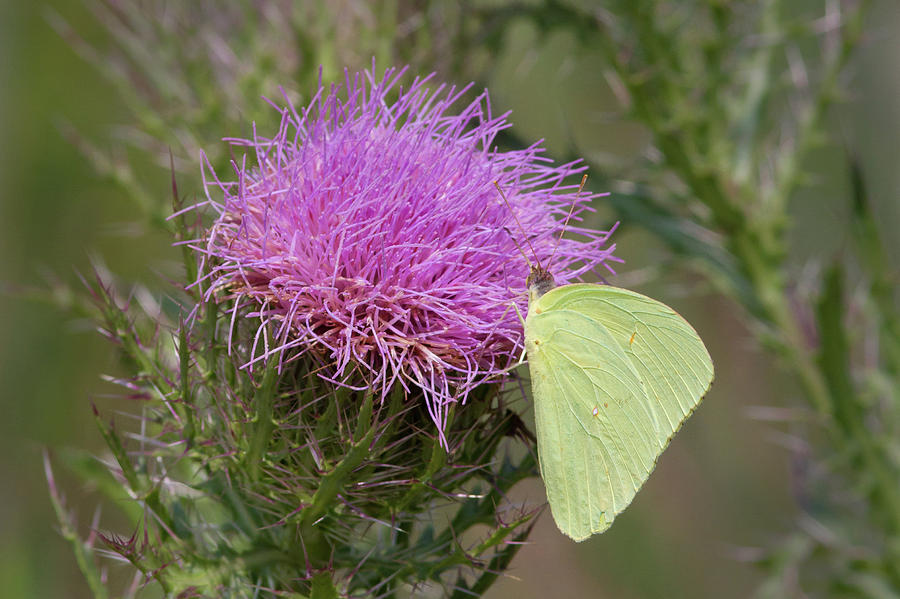 Sulphur Butterfly On Thistle Photograph