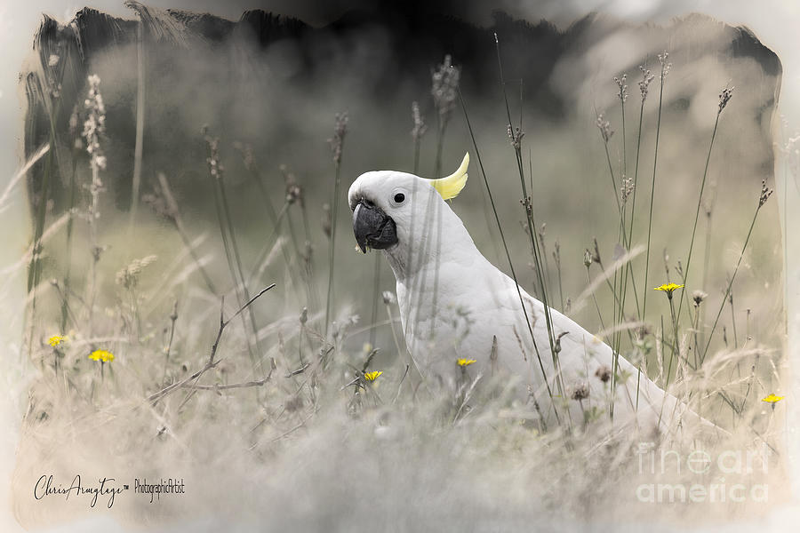 Cockatoo Photograph - Sulphur Crested Cockatoo by Chris Armytage
