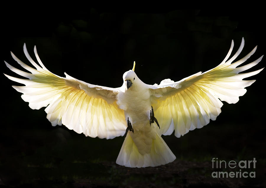 Sulphur crested cockatoo in flight Photograph by Sheila Smart Fine Art Photography