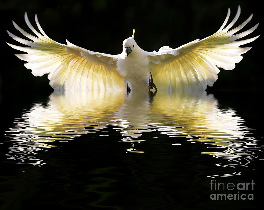 Bird In Flight Photograph - Sulphur Crested Cockatoo Rising by Sheila Smart Fine Art Photography