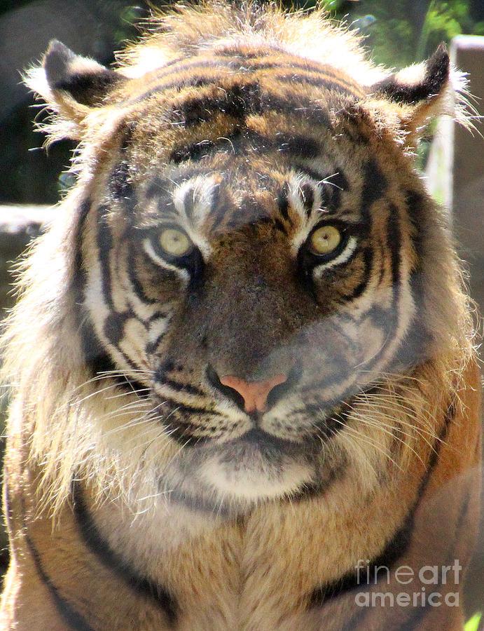 Sumatran Tiger Photograph - Sumatran Tiger-1440 by Gary Gingrich Galleries