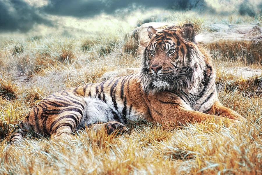 Sumatran Tiger Photograph