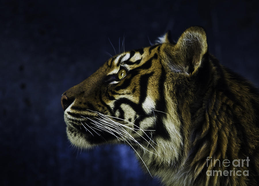Sumatran Tiger Photograph - Sumatran tiger profile by Sheila Smart Fine Art Photography