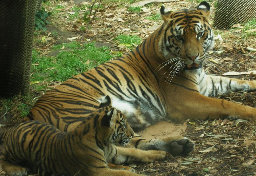 Tiger Photograph - Sumatran Tigers  by Travis Day