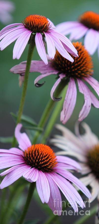 Echinacea Photograph - Summer by Amanda Barcon