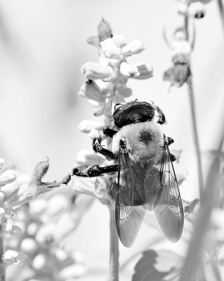 Summer Bee Black and White by Ann Keisling