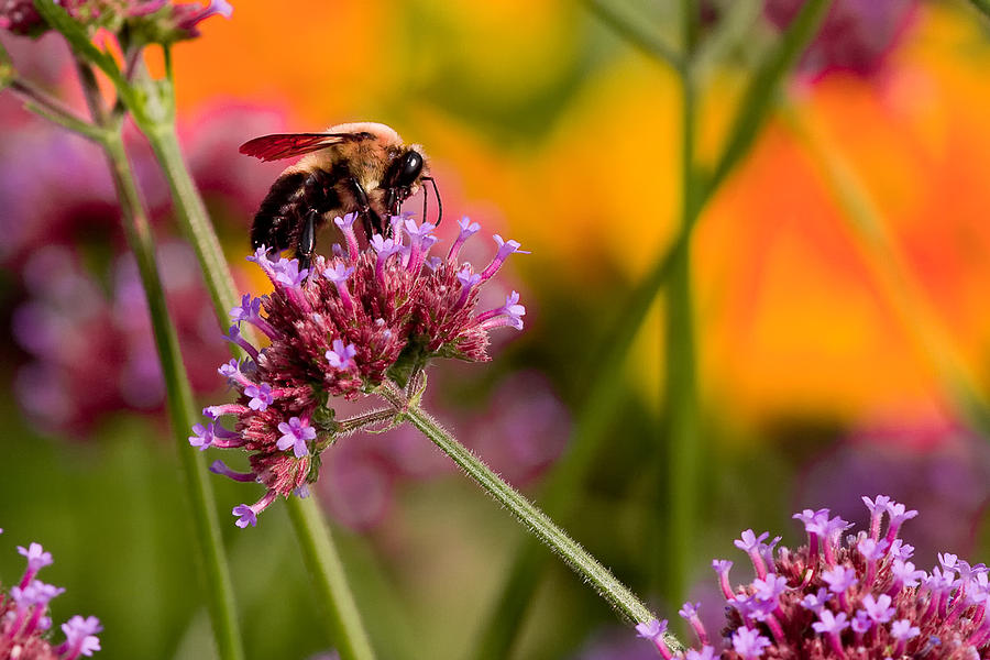 Bumble Bee Photograph - Summer Bee by E Mac MacKay