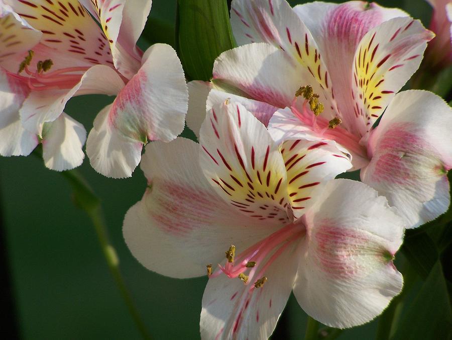 Nature Photograph - Summer Bloom IIi by Jake Hartz