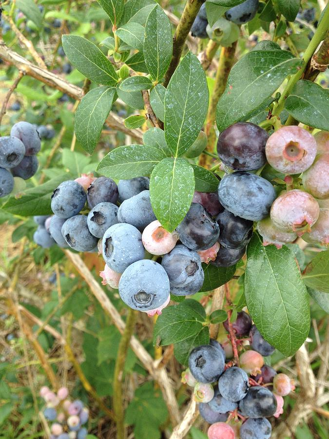 Summer Blueberries Photograph by Connie Sue Thacker