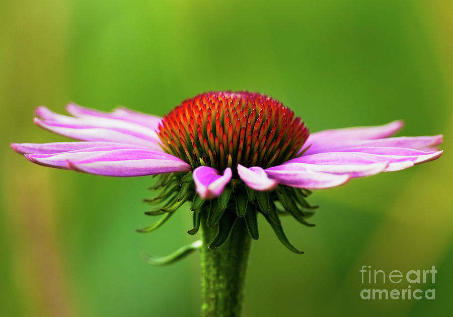 Nikon Photograph - Summer Burst... by Nina Stavlund