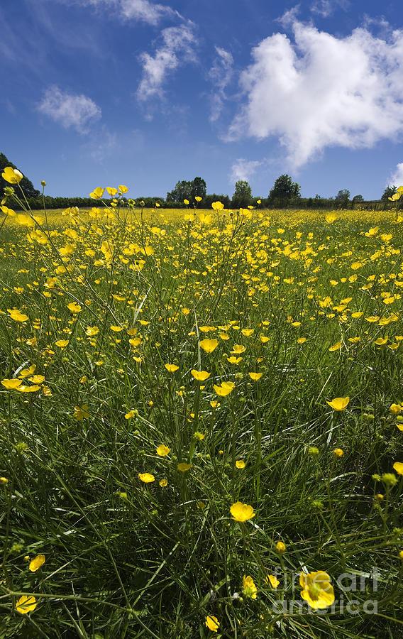 Agriculture Photograph - Summer Buttercups by Meirion Matthias