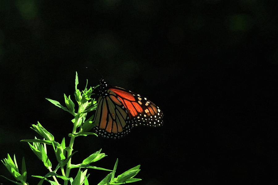 Butterfly Photograph - Summer Capture by Karol Livote