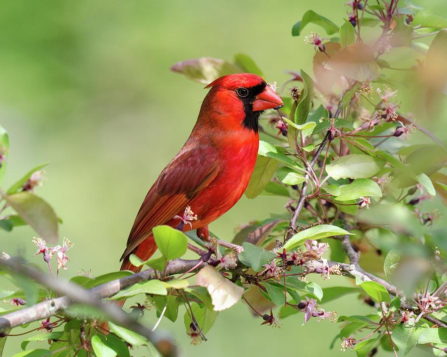 Summer Cardinal by Kristin Hatt