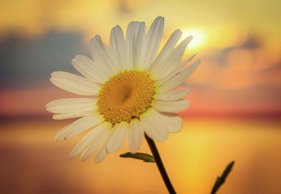 Flower Photograph - Summer Daisy  by Lisa Roskey Photography