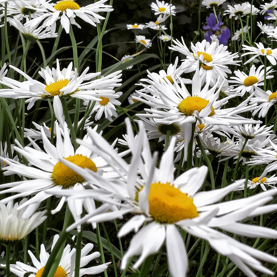 Daisies Photograph - Daisies Galore by Fay Hovre-Johnson