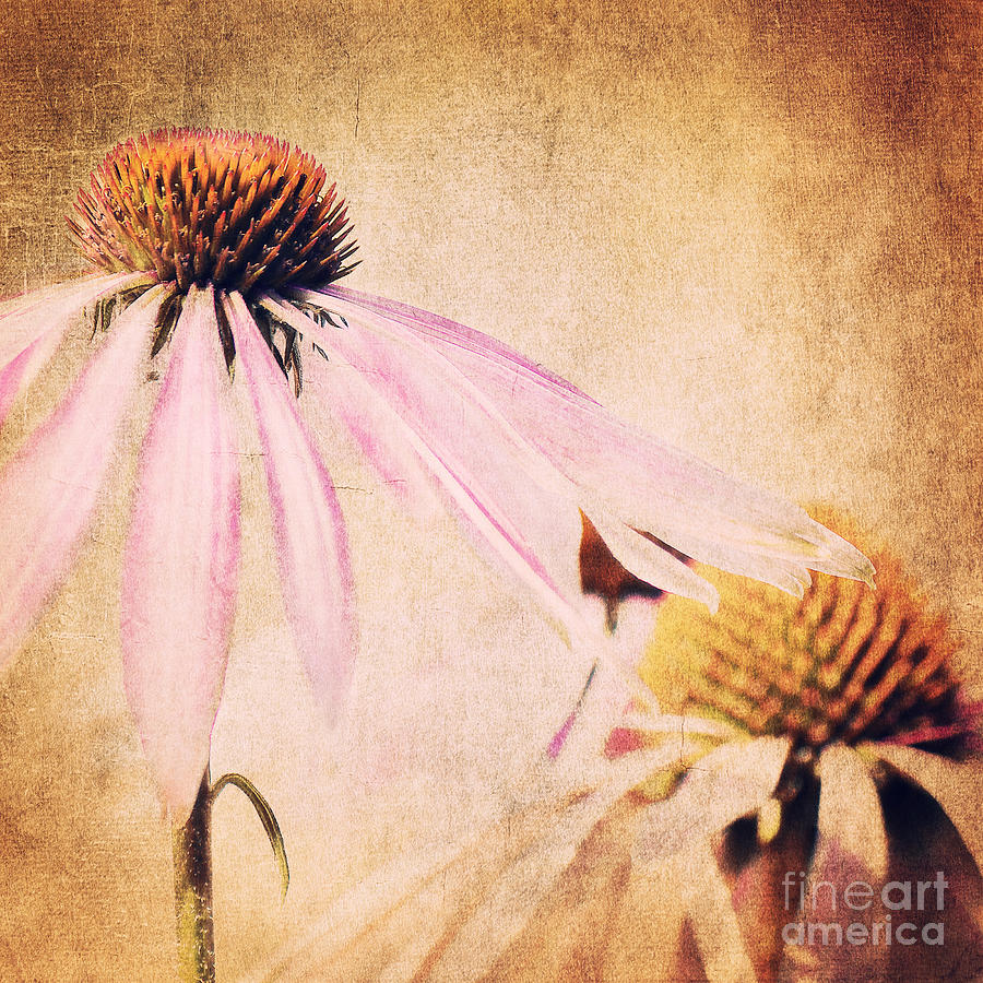 Echinacea Coneflower Photograph - Summer Feeling by Angela Doelling AD DESIGN Photo and PhotoArt