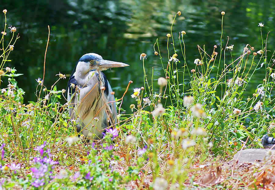 Heron Photograph - Summer Heron by Andy Merrett