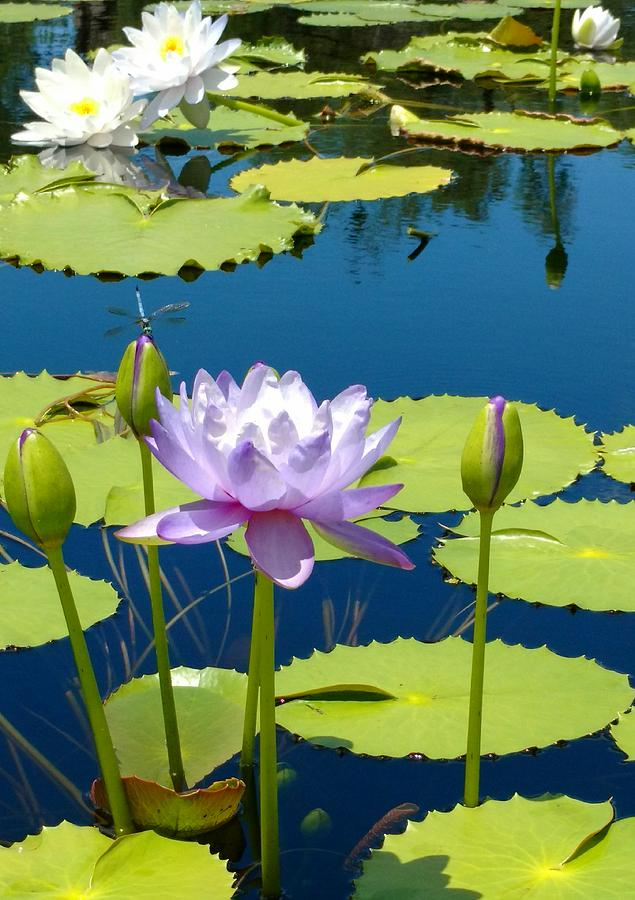 Summer Lilies Photograph by Nicole Grev